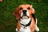 Beagle připraven k akci