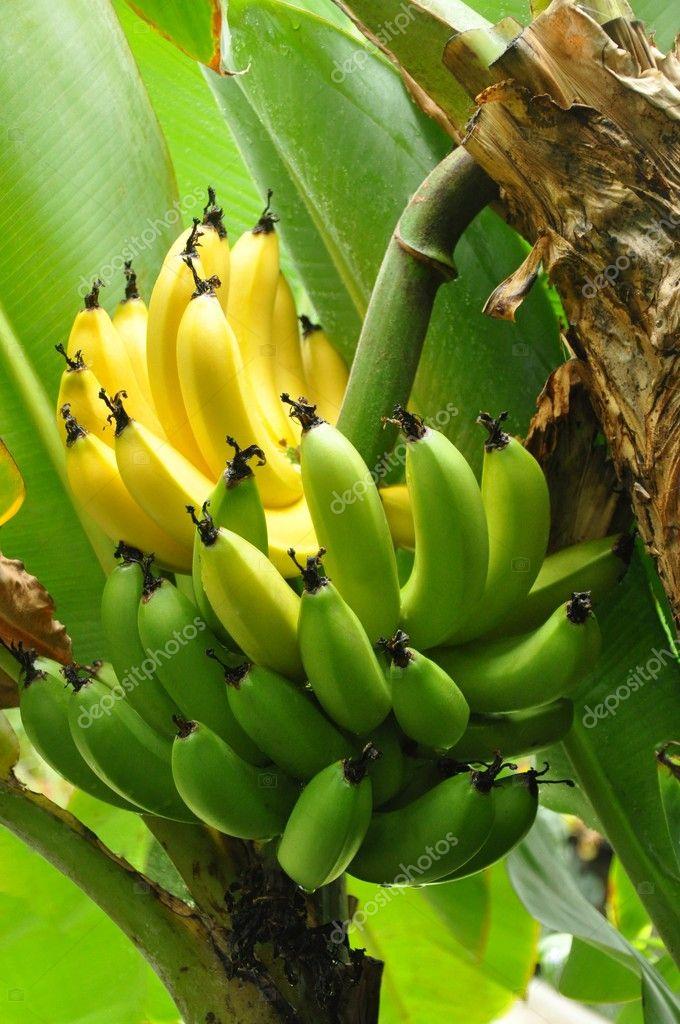Half ripe Bananas