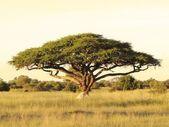 akácie na africké pláni