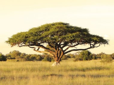 Acacia on the African plain