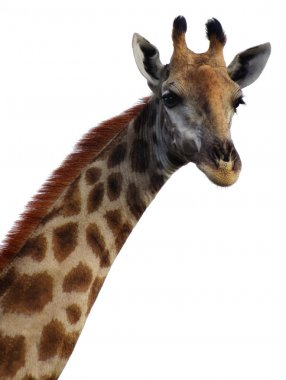 Giraffe neck and head on white background