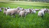 Fotografie A flock of sheep