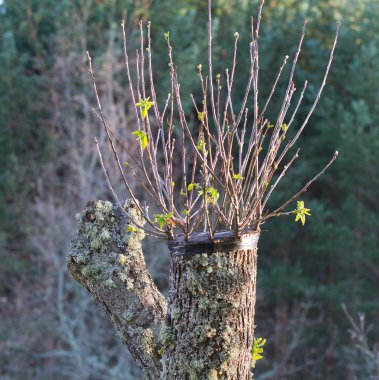 Grafted chestnut tree