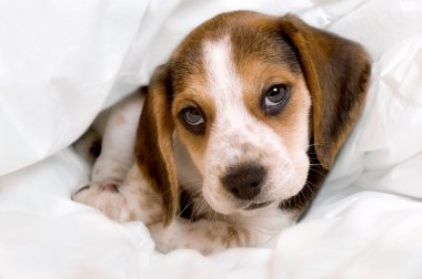 Beagle pup in blanket