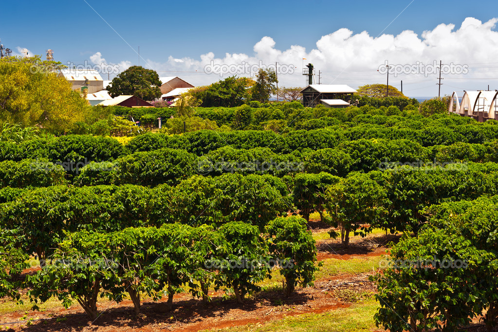 Coffee Plantation in Maui