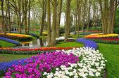 Blossing colorati tulipani nel parco di keukenhof in Olanda