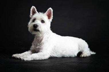 White Westhighland westie terrier.
