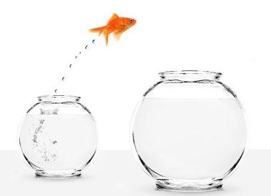 Goldfish jumping from small to bigger bowl