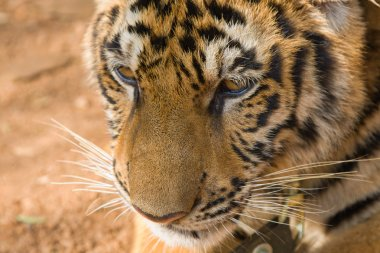 Tiger face