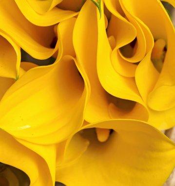 Yellow Zantedeschia
