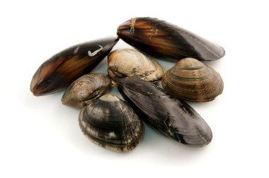 Edibile molluscs