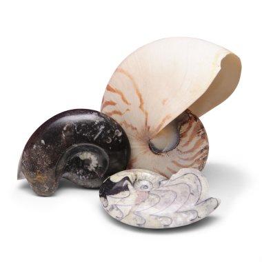 Ammonite fossils and nautilus shell