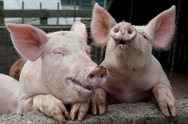 Funny Pigs laughing and joking