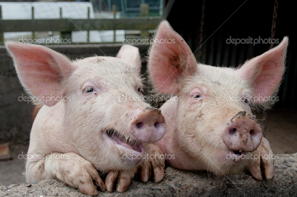 Funny Pigs
