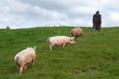 Farmer walking pigs through paddock