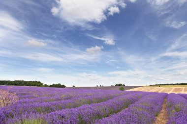 Lavender field in the Cotswolds