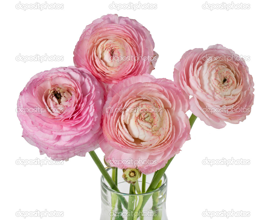 Pink ranunculus flower bouquet isolated on white — Stock Photo ...