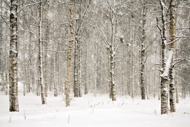 Snowy wintry forest