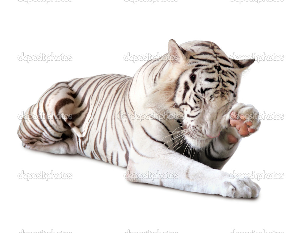 White tiger washing