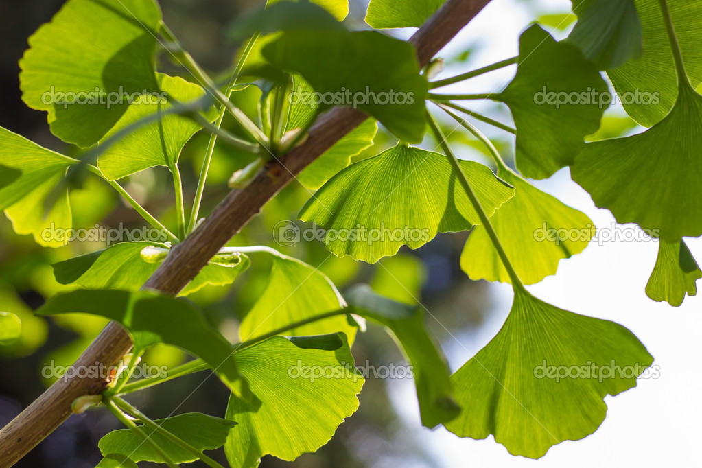 Branch of Gingko biloba with leaves