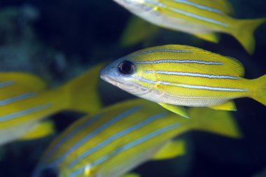 Blue-striped snapper in the Red Sea.