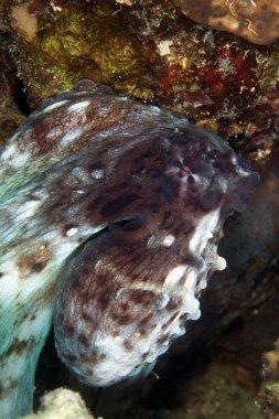 Reef octopus (octopus cyaneus) in the Red Sea.