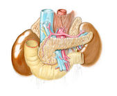 břicho a souvisejících orgánů