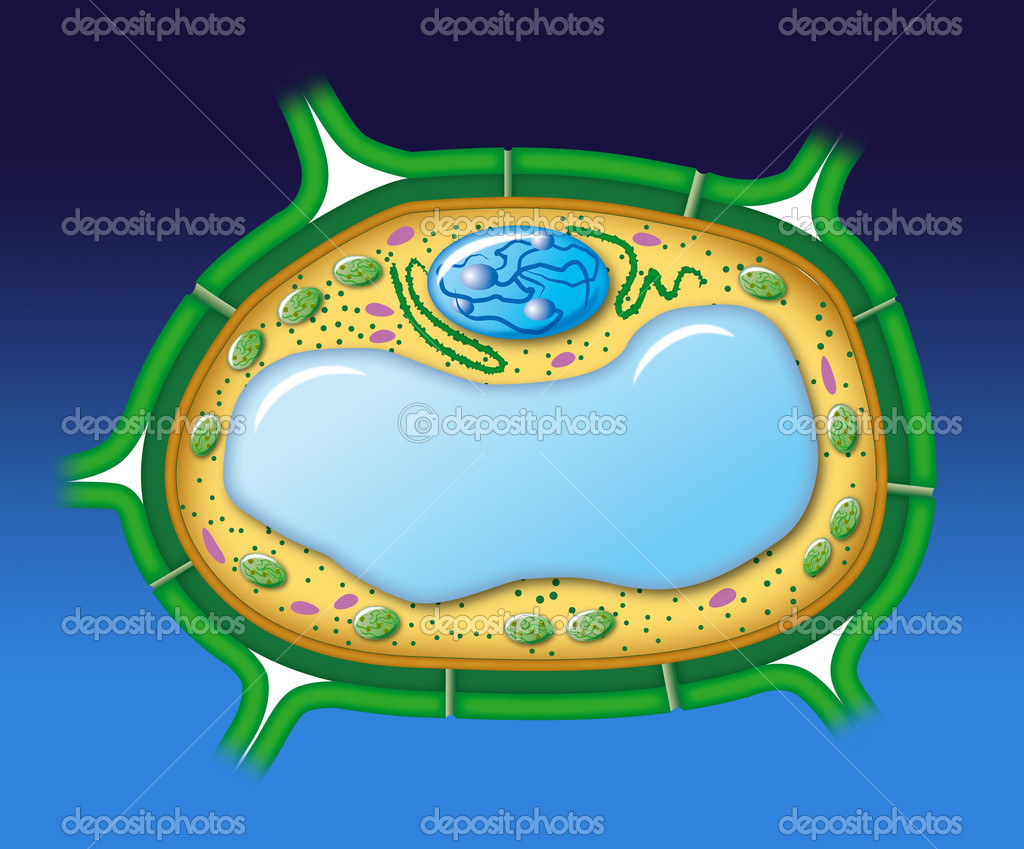 Structure of a vegetal cell