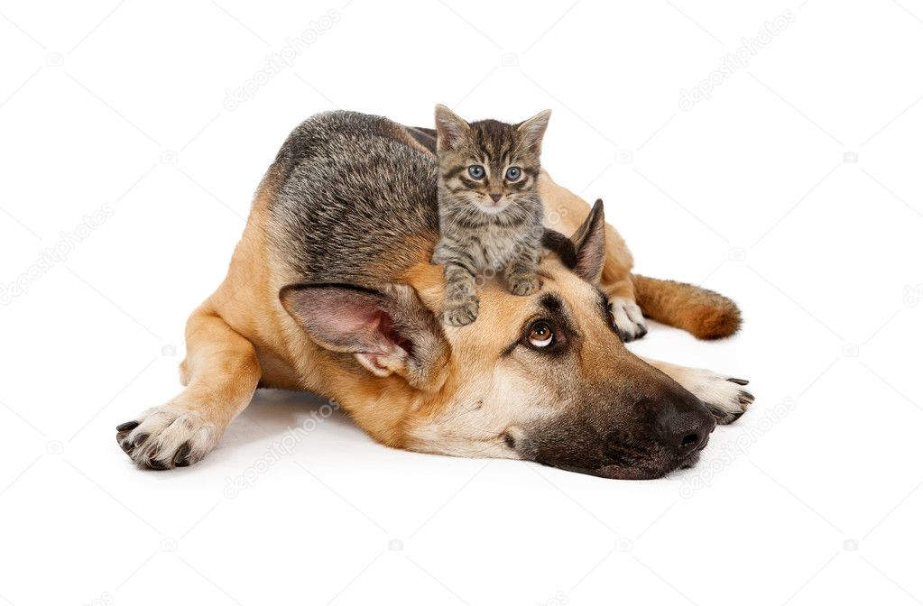 Kitten laying on German Shepherd
