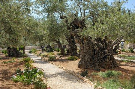 Photo pour Jardin de Gethsémani, sur le Mont des oliviers - image libre de droit