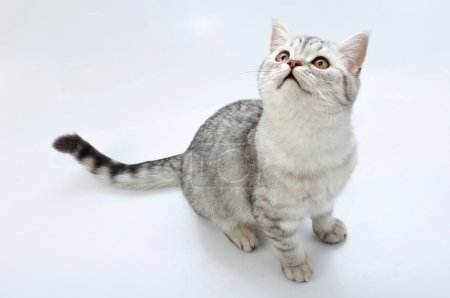Adorable young silver tabby Scottish cat looking u...