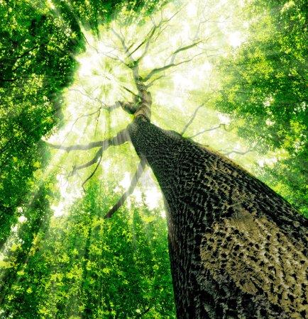 Photo pour Des arbres forestiers. Nature bois vert fonds de lumière du soleil. - image libre de droit