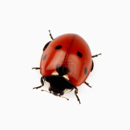 Beauty ladybug in closeup