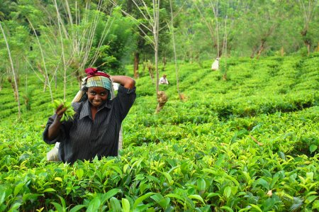 Young Tamil Girl At The Tea Plantation