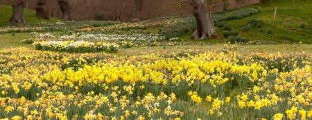 Photo pour Panorama des berges de fleurs de jonquille aux arbres lointains - image libre de droit