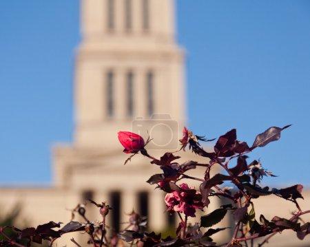 Photo pour Rosier en évidence devant le temple maçonnique de Washington et la tour commémorative d'Alexandrie, en Virginie. La tour a été achevée en 1932 - image libre de droit