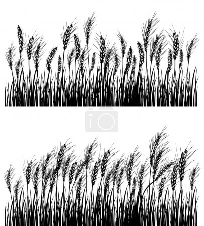 Illustration for Field of wheat on white - Royalty Free Image