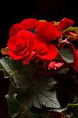 Flower of begonia