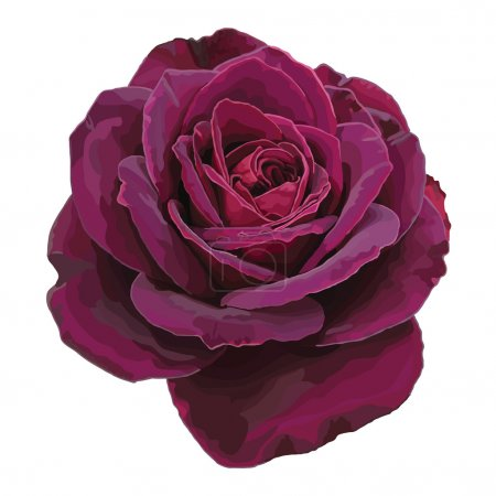 Illustration for Purple rose vector isolated on a white background - Royalty Free Image