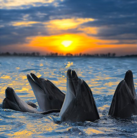 Photo for The bottle-nosed dolphins in sunset light - Royalty Free Image