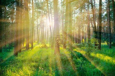 Photo pour Forêt de pins sur le lever du soleil avec les chaud rayons du soleil - image libre de droit
