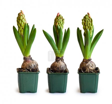 Three pink hyacinth in garden pots