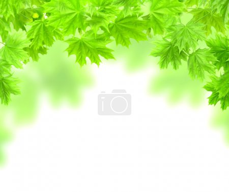 Photo for Spring frame with leaves of a maple. Isolated over white - Royalty Free Image