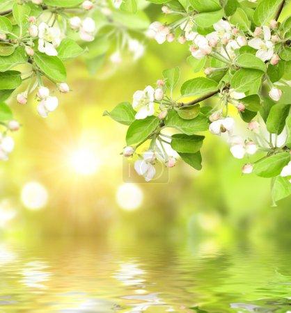 Photo pour Fleurs de pomme et de soleil - image libre de droit