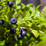 Bush of a ripe bilberry in the summer closeup...