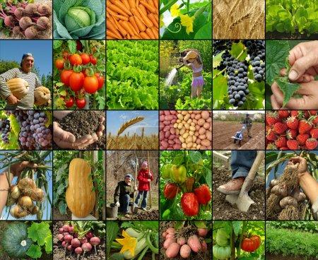 Photo pour Légumes cultivés et récoltés à la ferme - image libre de droit