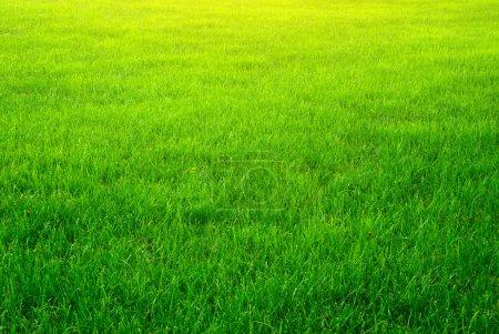 Photo pour Texture de fond herbe verte. élément de conception. - image libre de droit