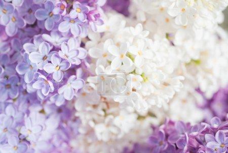 Photo pour Gros plan beau fond lilas avec des fleurs violet clair et blanc - image libre de droit