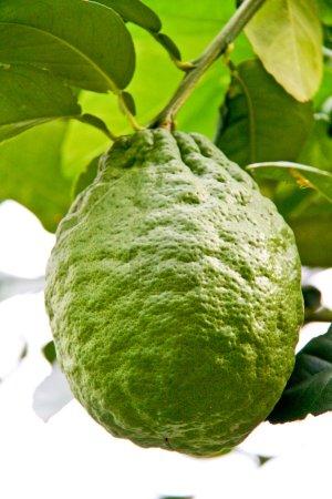 Green lemon on a lemon tree