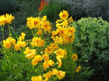 Yellow flowers in summer garden
